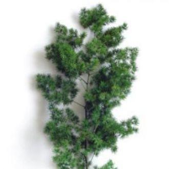aspargo-crespo-natural-preservado-cor-unica