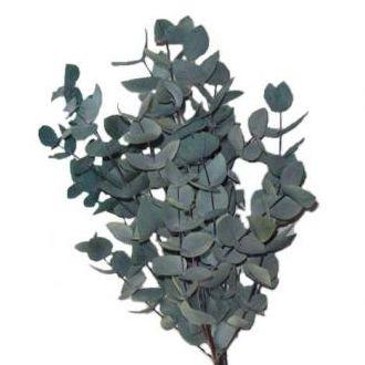 eucalipto-cinerea-natural-preservado-cinzacapuccino