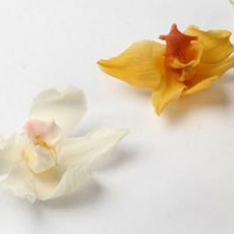 orquideacymbidiumcorunica